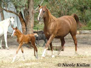 Niki and Foal from Jamil Razah Stud