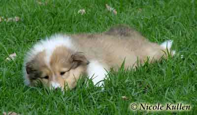 'Vedamea Stud'  Rough Collie pup