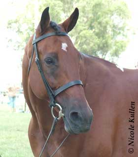 Standardbred at Luddenham Show