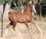 Nikshar Valentino as a foal - at approx. 2 months old in 2006