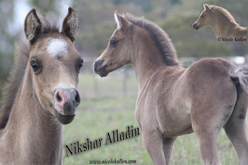 Welsh B, Arabian Pony stallion 'Nikshar Alladin' as a foal