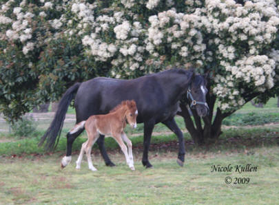 Nikshar Stud's beautiful mare Brampton Country Rose with our 2009 colt foal by Nikshar Alladin