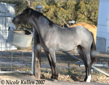 Welsh B, Arabian Pony 'Nikshar Alladin' in Oct 2007