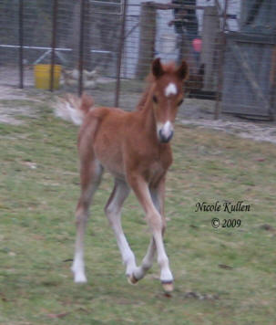 Nikshar Stud's 2009 colt foal by Nikshar Alladin showing off his beautiful paces