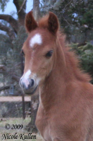 Nikshar Alladin's 2009 Welsh B, Arabian Pony Colt Foal. This colt is available for sale.