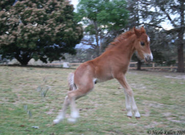A funny photo of our colt by Nikshar Alladin when he was playing that makes him look like he's being taken by aliens