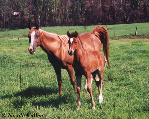 Purebred Arabian gelding 'Nikshar Wildfire' as a foal standing with his dam 'Pinnaroo Mary'.